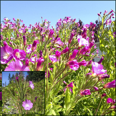 Hairy Willowherb